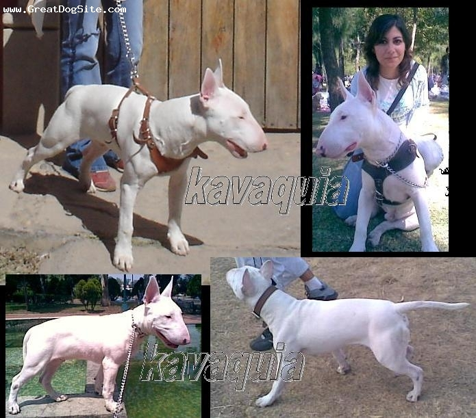 Bull Terrier, 1, white, beautiful